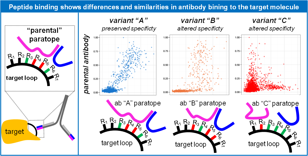 Peptide binding shows differences and similarities in antibody binding to the target molecule