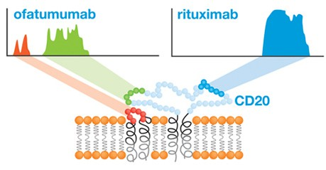 Distinctly different binding sites for Rituximab and Ofatumumab identified with Precision Epitope Mapping