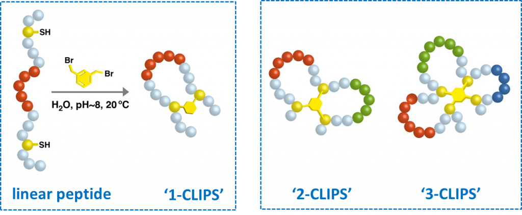"Schematic representation of a ""1-CLIPS"" reaction (left panel), and different CLIPS-based topologies (2-CLIPS & 3-CLIPS loops)"