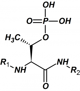 Phosphothreonine