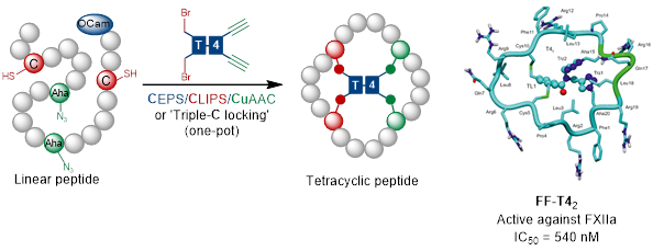 Tetracyclic Peptide and / or Cyclized Peptide